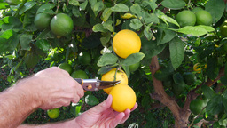 Picking lemons from tree Footage