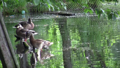 Family of ducks sitting on a pole and clean their feathers 27 Footage