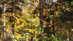 leaves swaying wind Footage