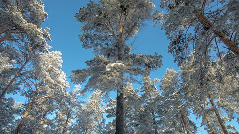 Trees blue sky winter forest Footage