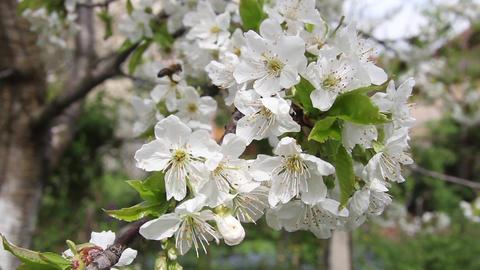 Bee pollen seeking in white apple blossom 9794 Footage