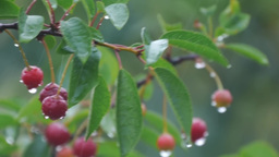 Bunch Of Cherries Hanging On A Branch Bathed By Rainwater 276 stock footage