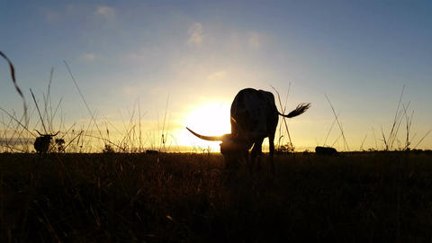 4K Cattle cow farming Texas Longhorn sunset / sunrise landscape Footage