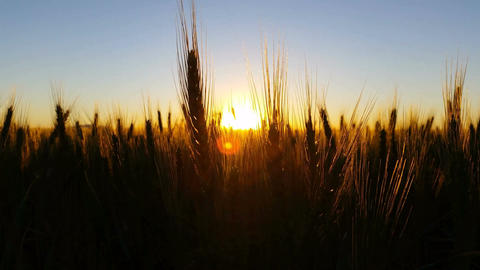 Nature Scenic Wheat field warm sunset with lens flare Footage