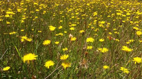 Dandelion Wildflower Field Footage