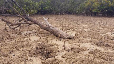 Mangrove Swamp Forest - Marine Estuaries Mud Flats Footage