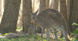 Male Kangaroo Wallaby Marsupial Animal Australia Footage