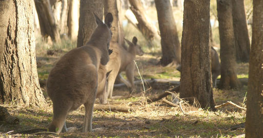 Kangaroo Wallaby Marsupial Animal Australia Footage