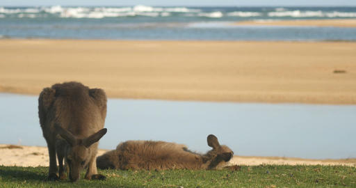 kangaroo wallaby roo is one of Australia's most iconic marsupial animals Footage
