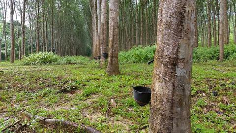 Rubber Tree Plantation stock footage