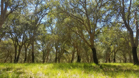 Cork Oak Tree Forest Summer Day Footage