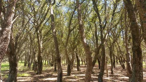 Cork Oak Tree Forest Summer Day Footage