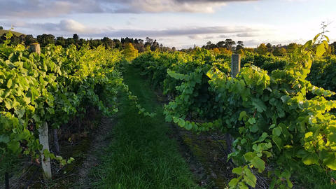 Vineyard Grape Sunset Landscape stock footage