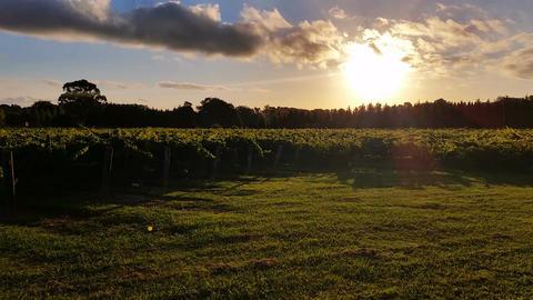 Vineyard Grape Sunset Landscape stock footage