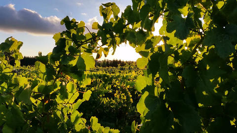 Vineyard grape sunset landscape Footage