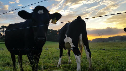 Dairy cattle cow farming sunset / sunrise Footage