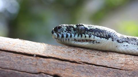 head of Snake Reptile Diamond Python Footage