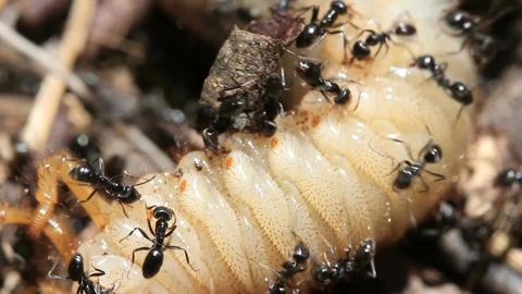 Ants vs Beetle grub 5 Footage