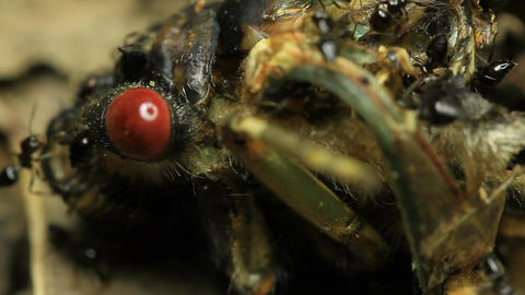 Cicada Eaten by Ants 2 Live Action