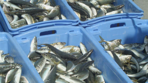 Commercial Fishing Industry fisherman fish catch on boat at fishing docks Live Action
