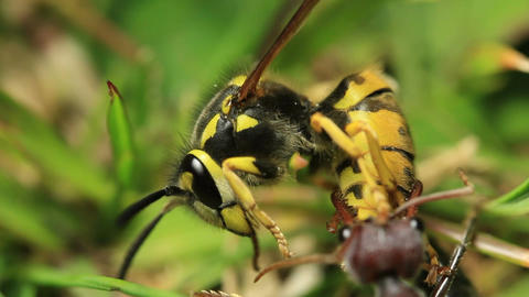 European Wasp vs Bull Ant 1 Footage