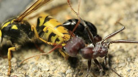 European Wasp Vs Bull Ant 2 stock footage