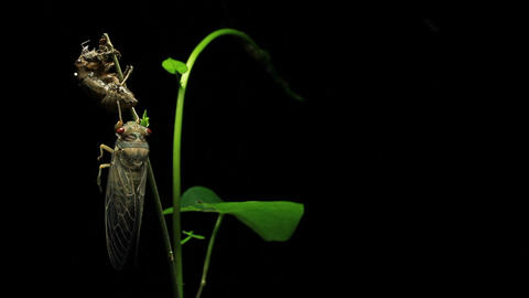 Cicada enclosing - Cicadinae australasiae 10 Live Action