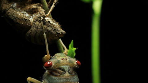 Cicada Enclosing - Cicadinae australasiae 11 Live Action