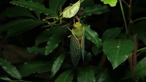 Cicada Enclosing - Cicadinae australasiae 13 Live Action
