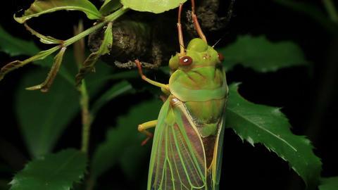 Cicada Enclosing - Cicadinae australasiae 16 Live Action