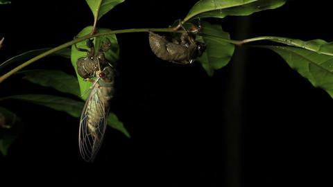 Cicada Enclosing - Cicadinae australasiae 4 Live Action