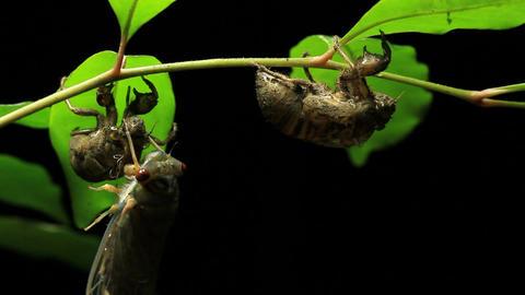 Greengrocer Cicada - Cicadinae australasiae 6 Live Action