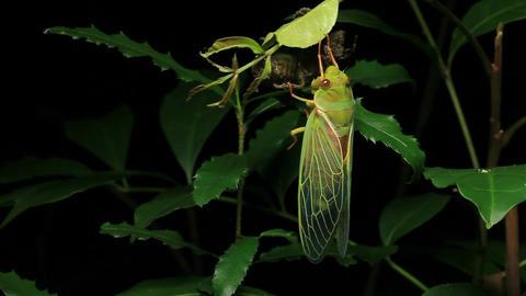 Cicada Enclosing - Cicadinae australasiae 17 Live Action