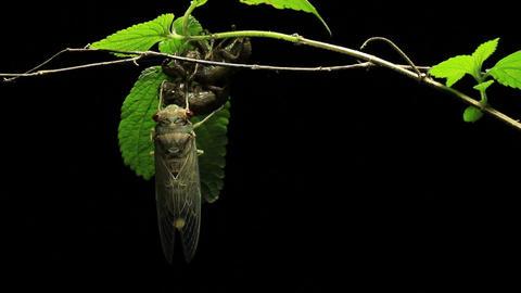 Cicada Enclosing - Cicadinae australasiae 8 Live Action