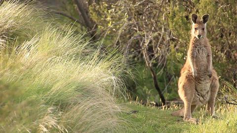 Kangaroo - Australian Wildlife Footage