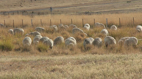 Sheep Farming Agriculture Rural Landscape Australia stock footage