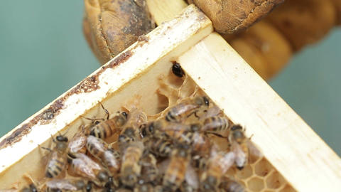 Small hive beetle in honey bee hive Footage