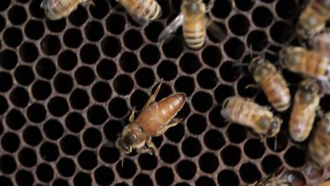 Queen bee macro in honey bee hive Live Action