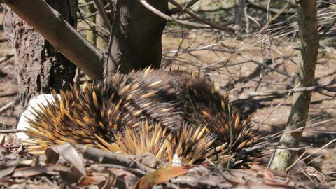 Echidna - Australian egg-laying Monotreme Live Action