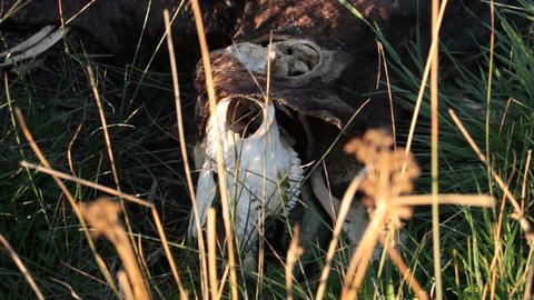 Dead Animal 'Cow' Carcass Footage