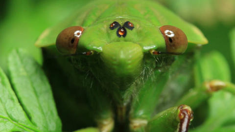 green grocer, is a species of cicada Live Action