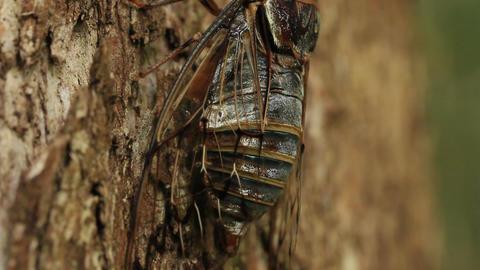 Cicada singing on tree (close up) Live Action
