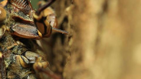 Cicada Feeding tree (close up) Live Action