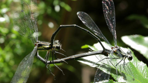 Dragonfly / Damselfly Mating Insect Macro Footage (5 of 5) Footage