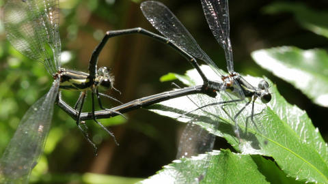 Dragonfly / Damselfly Mating Insect Macro Footage (3 of 5) Footage
