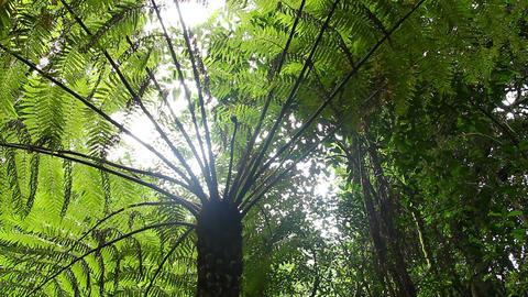 Tree Fern Rainforest - Australian Landscape Live Action