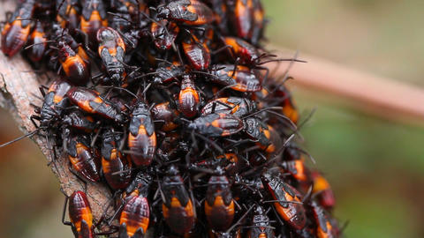 Assassin Bug Group Molting Footage