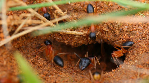 Ants Nest - Worker Ants Footage