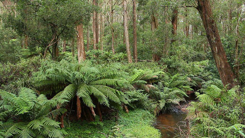 Rainforest - Australian Landscape Footage