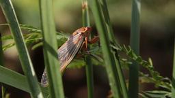 Masked Devil / Yellow Monday Cicada - Cicadidae Footage
